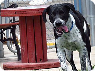 Blue Heeler/Labrador Retriever Mix Puppy for adoption in Meridian, Idaho - Pepper