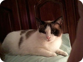 Snowshoe Cat for adoption in Portland, Maine - Cynthia
