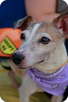 Jack Russell Terrier Dog for adoption in Long Beach, New York - Mandee
