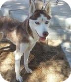 Siberian Husky Dog for adoption in Apple valley, California - Farra