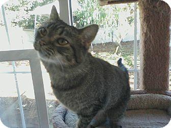 Domestic Shorthair Cat for adoption in Columbia, South Carolina - Chloe