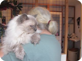 Himalayan Cat for adoption in Davis, California - Ms Cookie