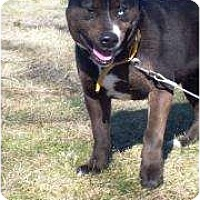 Husky/Labrador Retriever Mix Dog for adoption in Salem, Ohio - Tank II