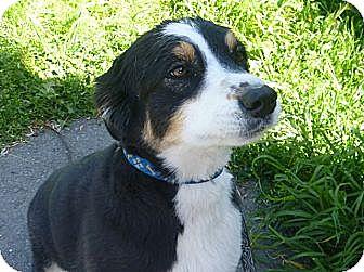 Australian Shepherd Mix Dog for adoption in Grants Pass, Oregon - Maggie