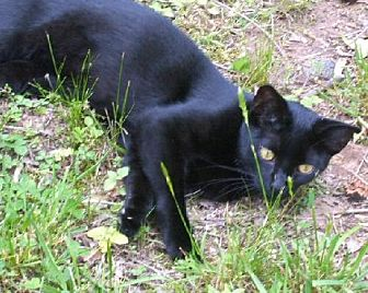 Domestic Shorthair Cat for adoption in Sidney, Maine - Harry