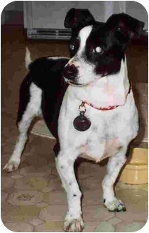 Rat Terrier/Jack Russell Terrier Mix Dog for adoption in El Segundo, California - Rocky