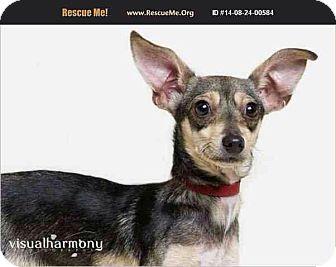 Beagle/Chihuahua Mix Dog for adoption in Phoenix, Arizona - Tara