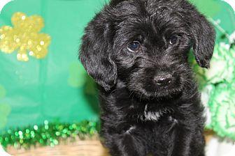 Labrador Retriever Mix Puppy for adoption in Waldorf, Maryland - Jenny