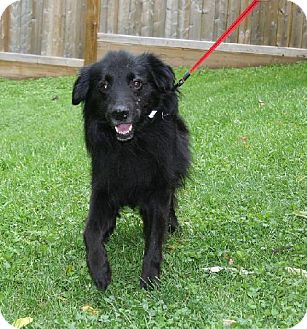 Spaniel (Unknown Type)/Border Collie Mix Dog for adoption in London, Ontario - Jerry