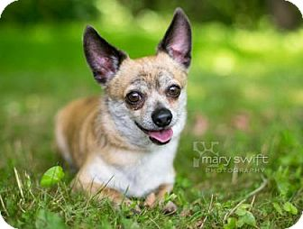 Chihuahua Mix Dog for adoption in Reisterstown, Maryland - Shorty