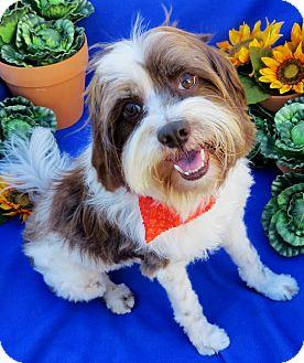 Havanese/Maltese Mix Dog for adoption in Irvine, California - Buster Brown