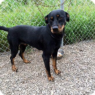 Rottweiler Mix Dog for adoption in Bandera, Texas - Sasha