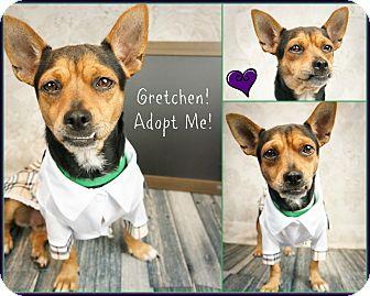 Dachshund/Miniature Pinscher Mix Dog for adoption in Phoenix, Arizona - Gretchen
