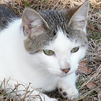 American Shorthair Kitten for adoption in Melbourne, Arkansas - Auggie