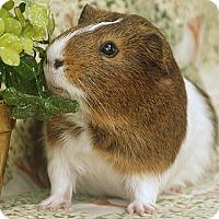 Adopt A Pet :: Chippie - Santa Barbara, CA