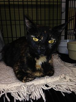 Domestic Shorthair Cat for adoption in Cleveland, Tennessee - KERRI