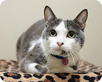 Domestic Shorthair Cat for adoption in Bellingham, Washington - Brad Kitt