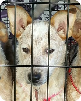 Australian Cattle Dog Puppy for adoption in Lebanon, Connecticut - Speck