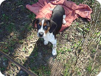 Beagle Mix Puppy for adoption in Old Bridge, New Jersey - Zena
