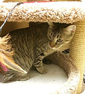 Domestic Shorthair Cat for adoption in Lake Elsinore, California - Sabertooth