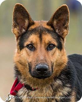 German Shepherd Dog Puppy for adoption in Dacula, Georgia - Brighton