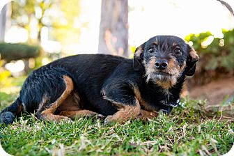 Chihuahua/Terrier (Unknown Type, Small) Mix Dog for adoption in Corona, California - JC