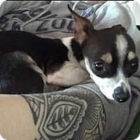 Adopt A Pet :: Chula - Bellingham, WA