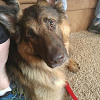 Adopt A Pet :: Whiskey - On Trial - Morrisville, NC