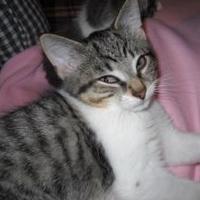 Adopt A Pet :: Casanova - Rochester Hills, MI