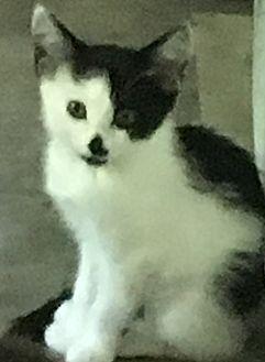 Domestic Shorthair Kitten for adoption in Covington, Kentucky - Shyla