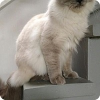 Himalayan Cat for adoption in Erwin, Tennessee - Armani