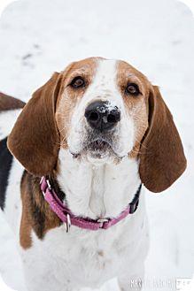 Beagle/Hound (Unknown Type) Mix Dog for adoption in Lockport, New York - Makenna