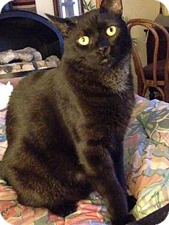 Domestic Shorthair Cat for adoption in Las Vegas, Nevada - Loverboy