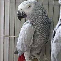 African Grey for adoption in Elizabeth, Colorado - Colee