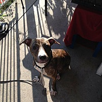Adopt A Pet :: Temple - Blue Bell, PA
