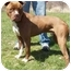 Photo 2 - Pit Bull Terrier Mix Dog for adoption in North Judson, Indiana - Charley