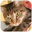 Photo 3 - Domestic Shorthair Cat for adoption in Walker, Michigan - Debbie