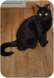 Domestic Shorthair Cat for adoption in Prescott, Arizona - Shadow