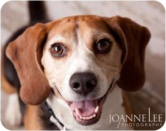 Beagle Dog for adoption in kennebunkport, Maine - Badger - in Maine