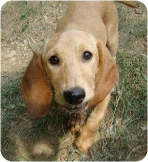 Beagle/Basset Hound Mix Puppy for adoption in Windham, New Hampshire - Emma