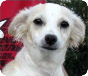 Chihuahua Mix Puppy for adoption in Reno, Nevada - Chiffon