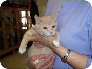 Domestic Shorthair Cat for adoption in McDonough, Georgia - Hamlet