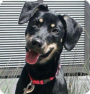 German Shepherd Dog Mix Puppy for adoption in Berkeley, California - Daphne