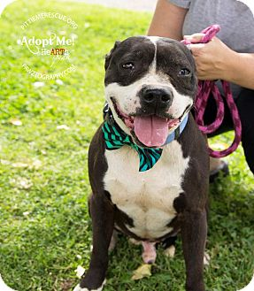 Boston Terrier/American Pit Bull Terrier Mix Dog for adoption in Gilbert, Arizona - Bogie