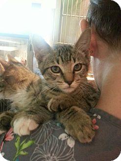Domestic Shorthair Kitten for adoption in Thonotosassa, Florida - Catalyst