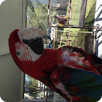 Macaw for adoption in Punta Gorda, Florida - Greenie