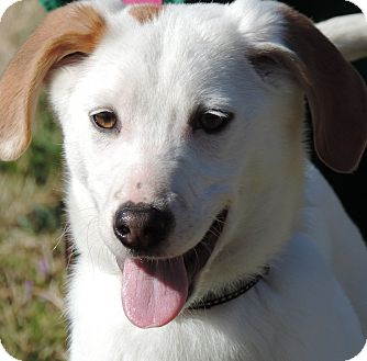 Retriever (Unknown Type) Mix Dog for adoption in Anderson, South Carolina - Annie