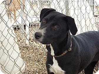 Border Collie/Labrador Retriever Mix Dog for adoption in Fair Oaks Ranch, Texas - Issa