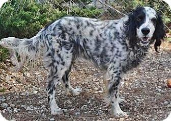 English Setter Dog for adoption in Greensboro, Georgia - Rex