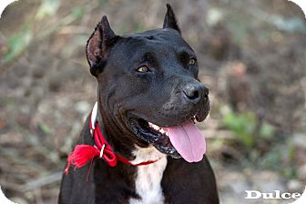 Staffordshire Bull Terrier/Boxer Mix Dog for adoption in Nanaimo, British Columbia - Dulce